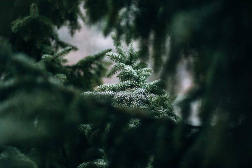 frosted_spruce